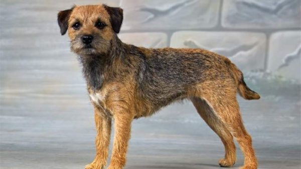 Rasen Borderterrier